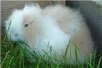 SMOOTIE, femelle bélier angora crème et blanche yeux bleus ( duchesse X DJANGO)