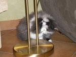 Daisy, bélier angora hollandais noire, bout d'1 oreilles blanche (CALINEXSHERIF)