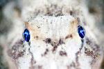 ヒメオコゼ ナイトダイビングで見られるとても目がキレイな魚