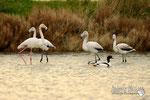 Fenicottero - Parco Naturale Interregionale del Delta del Po