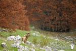 Cervo - Parco Nazionale d'Abruzzo Lazio e Molise