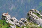 Camoscio Appenninico - Parco Nazionale d'Abruzzo Lazio e Molise