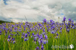 Iris siberiani - Slovenia