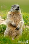 Marmotta - Appennino Modenese