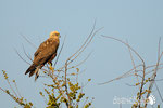 Falco di palude - Pianura Modenese
