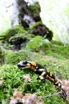 Salamandra pezzata (Salamandra salamandra)- Appennino Bolognese