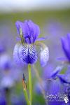 Iris siberiani - Slovenia.