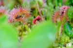 Drosera rotundifolia - Alto Appennino Modenese