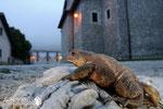 Rospo comune - Parco Nazionale d'Abruzzo Lazio e Molise