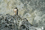 Falco pellegrino - Parco regionale dei Sassi di Roccamalatina