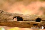 Topo selvatico - Appennino Modenese