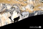 Camoscio - Parco  Nazionale del Gran Paradiso