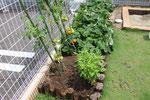 平成30年夏 園庭畑 トマトとサツマイモ