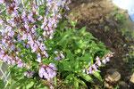 令和2年春 セージの花