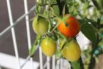 平成29年夏 プチトマト