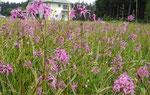 Feuchtwiese: Kuckuckslichtnelken