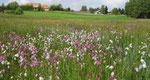 Feuchtwiese: Kuckuckslichtnelke mit Wollgras (Moorgasse)