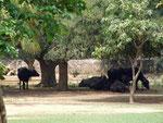 Des bufflonnes à l'ombre dans le parc de l'école