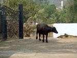 Une Bufflonne en liberté