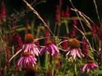 Roter Sonnenhut (Echinacea purpurea)