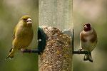 Grünfink ♂ und Stieglitz