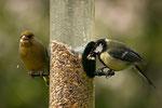 Grünfink ♂ und Blaumeise