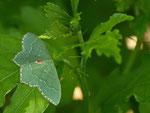 Buschholz-Grünspanner