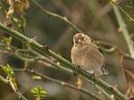 Buchfink ♀