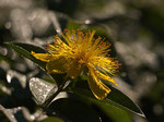 Großkelchiges Johanniskraut (Hypericum calycinum)