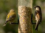 Grünfink ♂ und Haussperling ♂