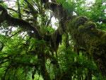 Hoh Rain Forest - Olympic N.P. - Washington by Ralf Mayer