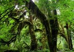 Hoh Rain Forest - Olympic N.P. - Washington by Ralf Mayer