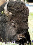 Land of the Bisons - Yellowstone Nationalpark by Ralf Mayer