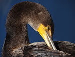 Kormoran - Everglades Nationalpark by Ralf Mayer
