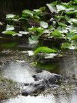 Alligator - Everglades Nationalpark by Ralf Mayer