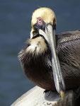 Pelikan in St. Petersburg - Florida by Ralf Mayer