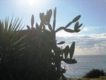 Kaktus am Meer