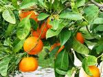Orangen können geerntet werden