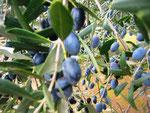 Oliven können geerntet werden
