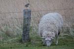 Rotschenkel mit Schaf