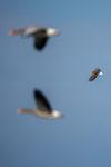 adulter Seeadler mit potentiellem Futter
