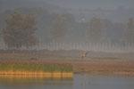 junger Seeadler in Morgenstimmung