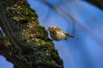 Winter-Goldhähnchen