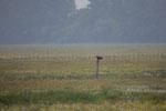 Seeadler in typischer Beobachtungsposition