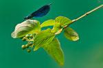 Blauflügel Prachtslibelle