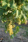 Uniblanc Grapes Seguinot