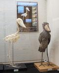 千葉市動物公園の剥製と骨格標本