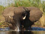 Elefante/Elephant