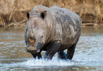 Rinoceronte/Rhinoceros