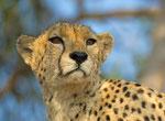 Chita/Cheetah